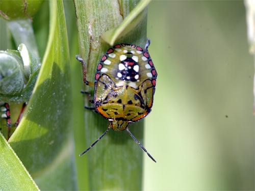 アオクサカメムシ5齢幼虫
