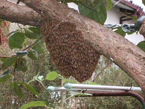柿の樹の分蜂群