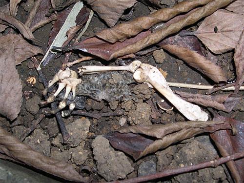 アズマヒキガエルの腕骨