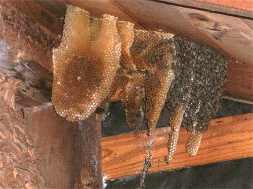 屋根裏のハチの巣(近景)