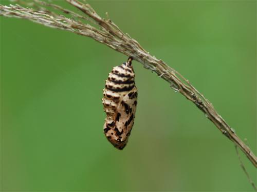 ヒョウモンモドキの蛹